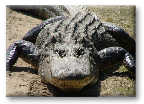 http://www.marathonbooks.com/images/Alligator2.jpg