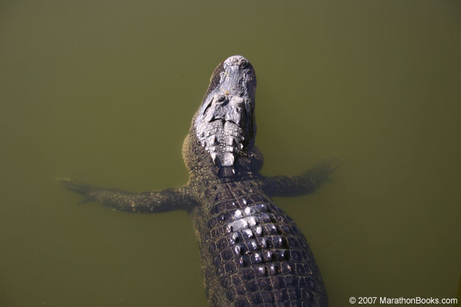Alligator waiting